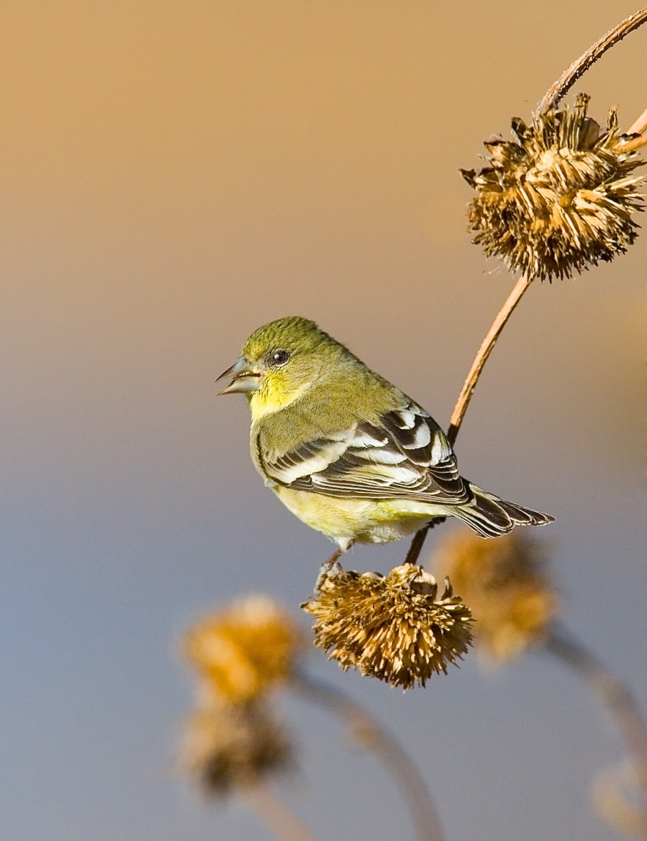 Goldfinch Photo by Scott Bourne