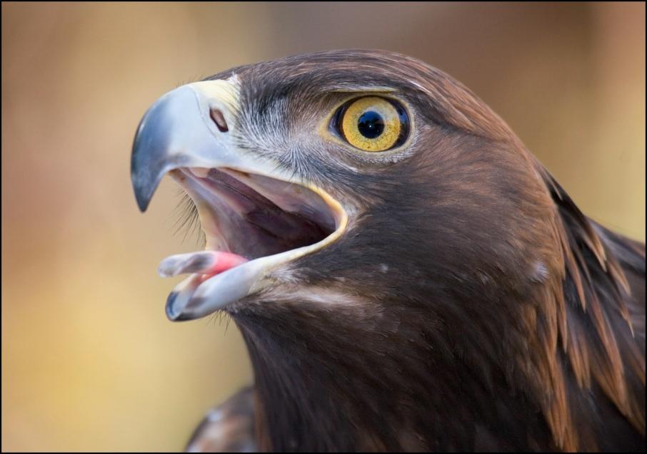 Golden eagle photo by Scott Bourne