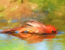 Cardinal bathing image by Scott Bourne