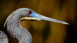 Tricolored Heron Photo by Scott Bourne