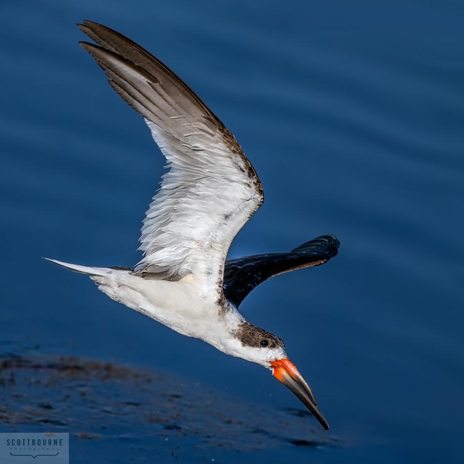 Black Skimmer Rynchops niger Photo by Scott Bourne