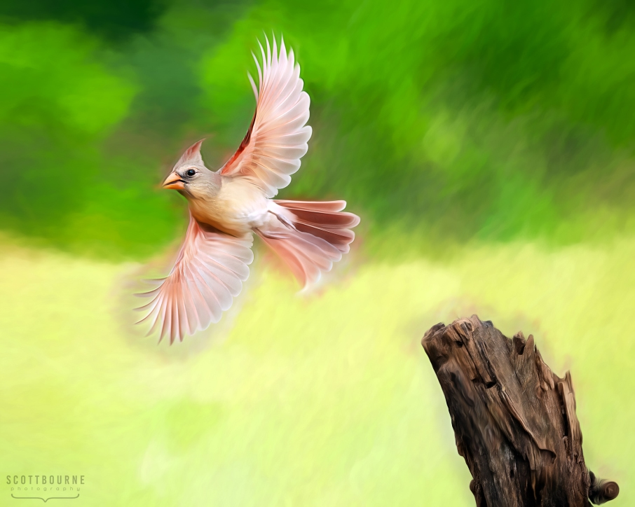 Female cardinal image by Scott Bourne