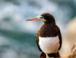 Brown Booby Photo by Scott Bourne