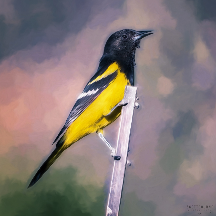 Scott's Oriole by Scott Bourne