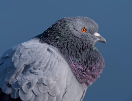 Pigeon Photograph by Scott Bourne