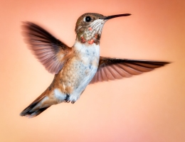Rufous Hummingbird Selasphorus rufus Photo by Scott Bourne