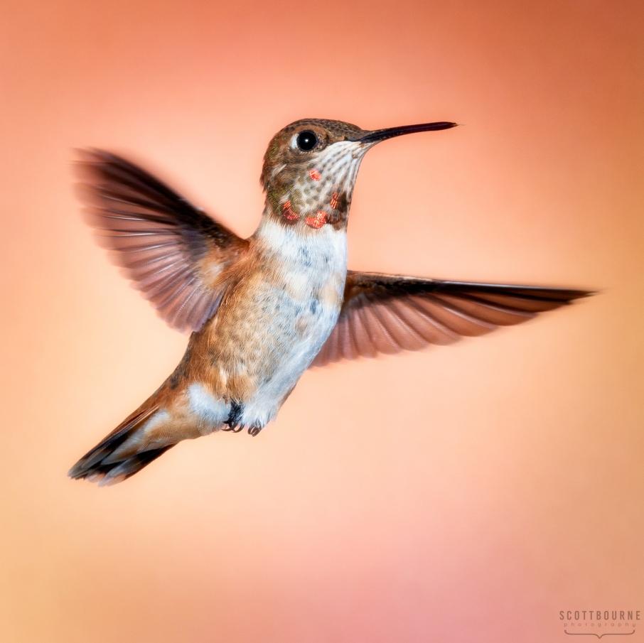 Rufous Hummingbird Selasphorus rufus Photo by Scott Bourne