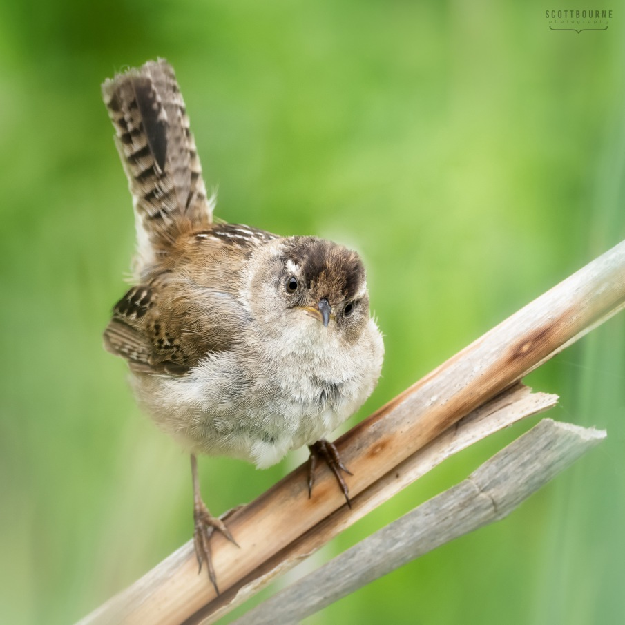 Marsh wren photo by Scott Bourne