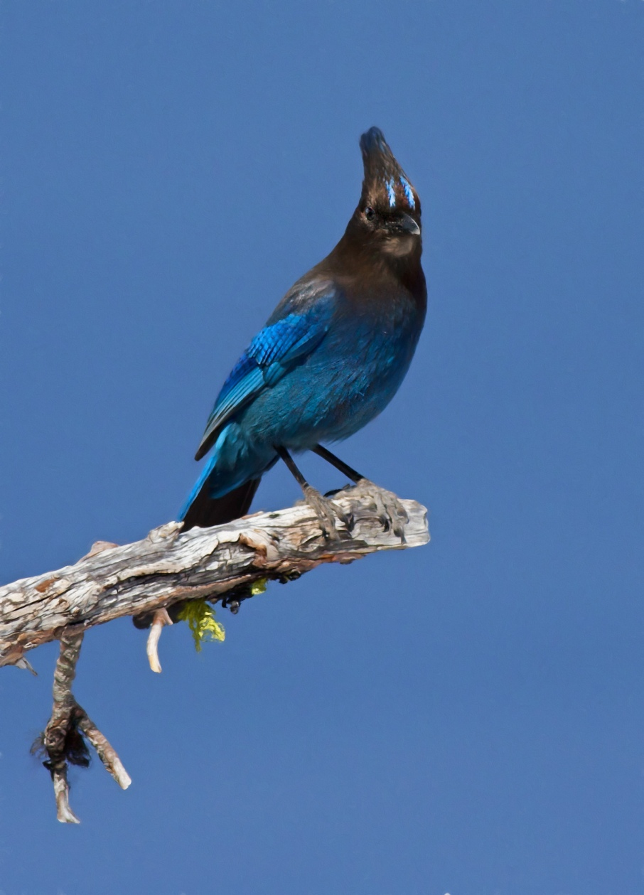 Stellers Jay Photo by Scott Bourne