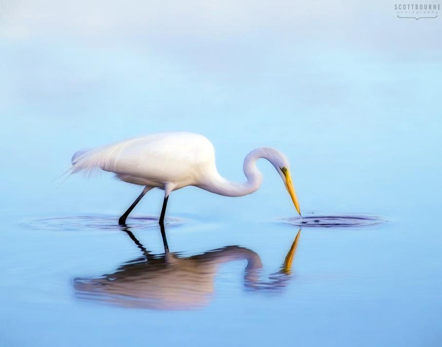 Great Egret Photo by Scott Bourne