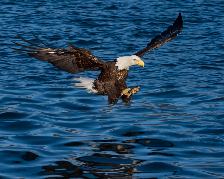 Bald Eagle Photo by Scott Bourne