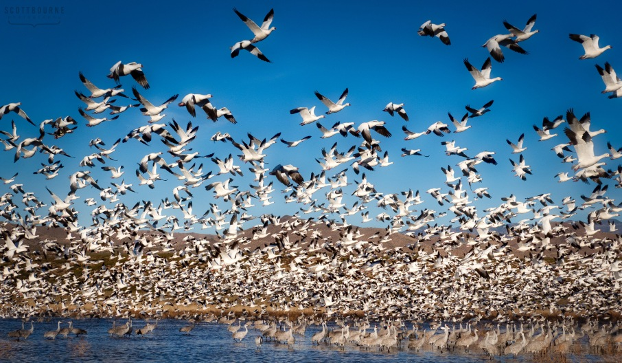 Geese at Bosque del Apache, Photo by Scott Bourne