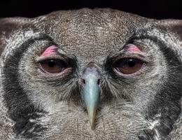 Verreaux's eagle-owl photo by Scott Bourne