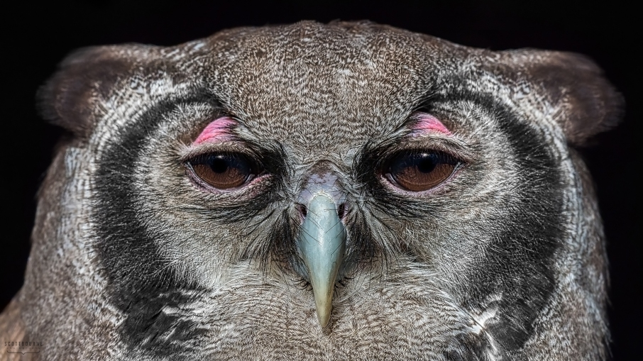 Verreaux's eagle-owl photo by Scott Bourne