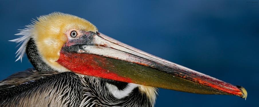 California Brown Pelican Photo by Scott Bourne