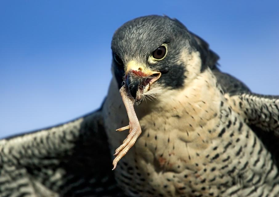 Falcon Photo by Scott Bourne
