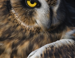 Eurasian Eagle Owl photo by Scott Bourne