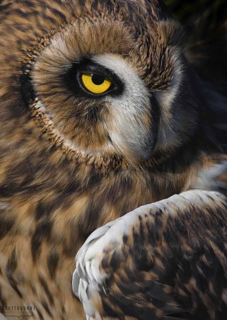 Eurasian Eagle Owl photo by Scott Bourne