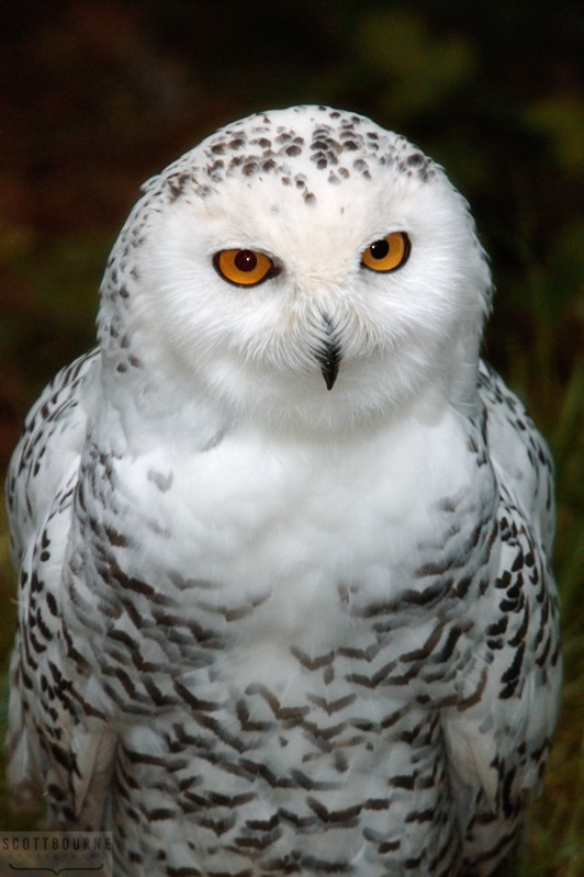 Snowy Owl Photo by Scott Bourne