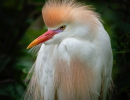 Cattle Egret Photo by Scott Bourne