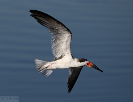 Black skimmer photo by Scott Bourne
