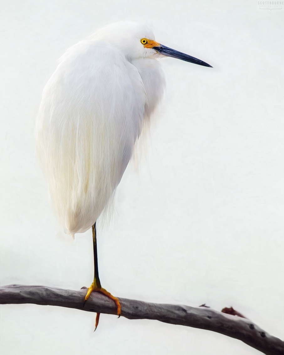 Snowy Egret by Scott Bourne