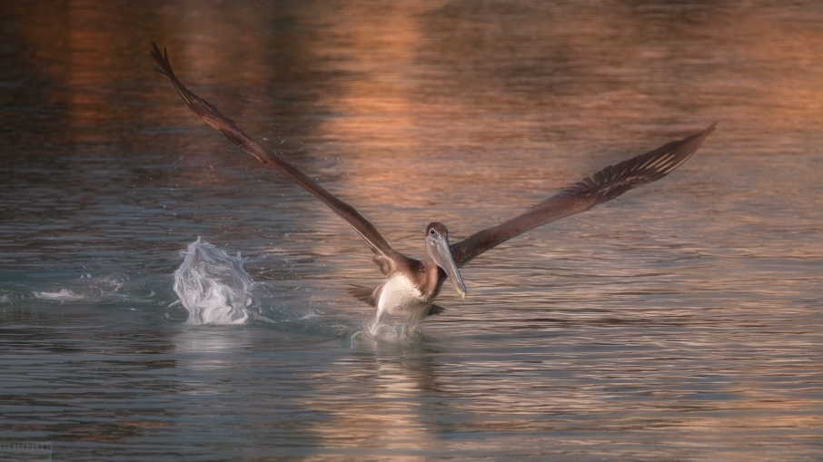 Brown Pelican Photo by Scott Bourne