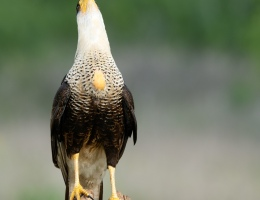 Crested Caracara photo by Scott Bourne
