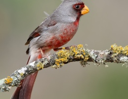 Pyrrhuloxia Photo by Scott Bourne